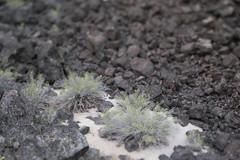 Mammoth Crater (Tony Pulokas) Tags: mammothcrater modoclavabeds lavabedsnationalmonument california spring tilt blur bokeh medicinelakevolcano fernbush rock basalt chamaebatiaria