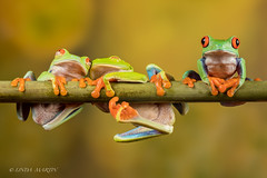 Two's company - three's a crowd! (Linda Martin Photography) Tags: captivelight agalychniscallidryas redeyedtreefrog frogworkshop bournemouth uk naturethroughthelens ngc npc coth5
