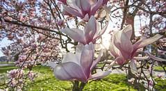Danse autour du magnolia 15/22 (Emmanuel Cattier -) Tags: magnolia fleur plante tree fleursetplantes flower flowering arbre arbreenfleur france strasbourg alsace grandest floraison lumière printemps cattier emmanuelcattier manusoft