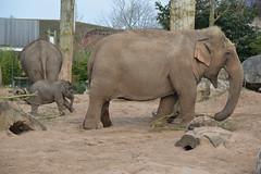 Asian Elephants (Elephas maximus) (Seventh Heaven Photography - (Fauna)) Tags: asian elephants animals aayu sithami hi way baby male nikond3200 calf wildlife chester zoo cheshire england elephant mammal elephas maximus elephasmaximus asiatic elephantidae