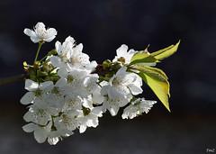 Délicatesse  !!! (thierrymazel) Tags: fruitier fleurs flowers bokeh profondeur champ pdc spring etamines pistil nature jardin printemps