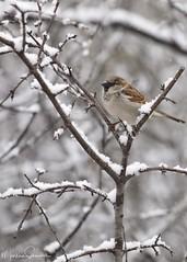 Riverside Park 16 (martinaschneider) Tags: riversidepark cambridge bird winter snow tree trees snowing sparrow housesparrow