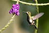 IMG_4410  Wire-crested Thorntail_female-hummingbird