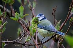 Blue tit (stevehimages) Tags: blue tit nest building spring moss steve higgins steveh stevehimages sutton coldfield suttoncoldfield wowzers warden west midlands garden 2017 grandpas den grandpasden