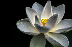 Water Lily (bobrizz1) Tags: 1001nights 1001nightsmagiccity platinumheartaward contactgroups flowerarebeautiful greatshotss thebestofmimamorsgroups photosandcalendar vividstriking