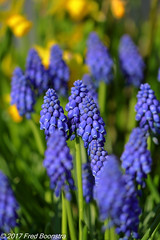 """playing with focus in the garden"" (A.J. Boonstra) Tags: grapehyacinths blauwedruifjes focus canon canon70d canoneos ef100mmf28lmacroisusm garden macro closeup flower flowers"