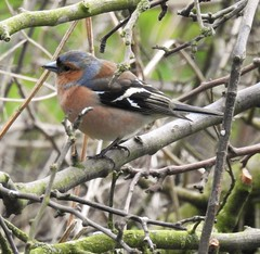 Chaffinch In Tree Branch Tangle - Druridge (Gilli8888) Tags: northumberland birds druridge druridgeponds water lake finches countryside nature chaffinch tree colour smallbirds nikon p900 coolpix