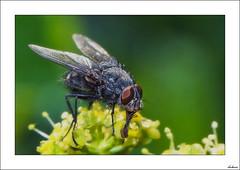 Mosca bonita (V- strom) Tags: macros macrophotography nikon nikon105mm naturaleza nature verde green mosca fly amarillo yelow fauna textura textures