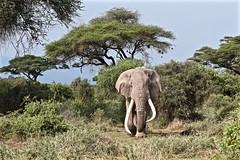 """""""I'm the Oldest Bull in the Park"""" (The Spirit of the World) Tags: bullelephant tusks male elephant park nationalpark gamereserve africa kenya eastafrica amboselinationalpark safari foliage nature wildlife"""