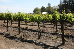 (ONE/MILLION) Tags: vacation travel tours visit day trip wine country delta winery vineyards taste tasting rocky delaney outdoors landscape grapes fields horses trees water flowers plants blooms williestark onemillion tulips daisey dogs