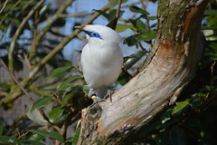 Bali mynah (Leucopsar rothschildi) (Seventh Heaven Photography) Tags: bali starling rothschilds mynah myna leucopsar rothschildi leucopsarrothschildi bird nikond3200 wild wildlife