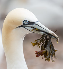 Gannet with seaweed (vagabond05) Tags: canada2016 gaspepeninsula