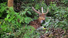 "NEPAL, Royal Chitwan-Nationalpark, Hirsch, 15417/8215 (roba66) Tags: royalchitwannationalpark hirsch deer wild fauna forest wald reisen travel explore voyages roba66 visit urlaub nepal asien asia südasien ""royal chitwannationalpark"" nationalpark landschaft landscape paisaje nature natur naturalezza tier tiere animal animals creature"
