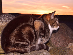 'Snulder the cat' in sunset (vibeke2620) Tags: sunset kat solnedgang nikond3300 catwatching nature natur outside countryside catonthelookout tabby