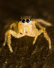 Jumping Spider Closeup (Glen in Franklin County) Tags: jumpingspider spider macro bug insect arachnid tiny small animal eye eyes canon 60d 100mm nature garden backyard