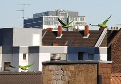 Alexandrine Parakeets (buzzing off) (Felix Jaensch) Tags: alexandrine alexandrian parakeet parrot city animal bird cologne