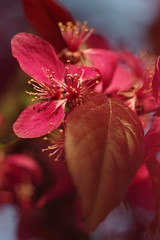 Pink blossom macro (José Kroezen) Tags: blossom bloem lente rijswijk nederland licht macro roze tokina 90mm pentax pentaxk30 spring pink closeup flower bloesem krone kroon