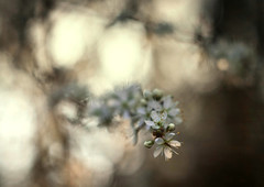 Spring Evening (ursulamller900) Tags: white spring diaplan28100 bokeh sunset