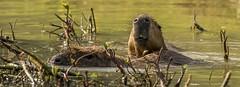 Capybara enjoying the water-4 (tiger3663) Tags: capybara water enjoying yorkshire wildlife park