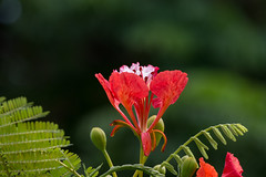 Flammenbaum - Flamboyant (Jutta M. Jenning) Tags: flora bumen blume bluete blueten wohlgeruch natur tropen tropisch zierpflanze zierpflanzen flammenbaum flamboyant rot red flower flowers