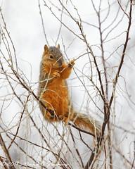 Fox Squirrel Enjoys Feeding On Leaf-buds (dcstep) Tags: squirrel foxsquirrel feeding buds aurora colorado unitedstates us n7a5860dxo cherrycreekstatepark canon5dmkiv ef500mmf4lisii ef14xtciii urban nature urbannature sanctuary urbansactuary wildlife pixelpeeper allrightsreserved copyright2017davidcstephens dxoopticspro1131 copyrightregistered04222017 ecocase14949772801