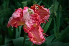 Parot Tulip (K.Verhulst) Tags: tulip tulp tulpen tulips flowers bloemen bloem flower keukenhof dekeukenhof lisse nl naturethroughthelens coth5 ngc npc