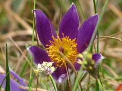 wildflower (germancute) Tags: nature outdoor kanzel plant wildflower flower blume landscape landschaft thuringia thüringen germany germancute wald wiese ngc