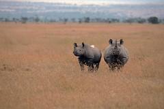 Rhino (Peter Regan 1) Tags: rhino blackrhino kenya