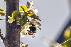 Comiendo (Carlos Peña Fernandez) Tags: insecto volando comiendo cerezo flor fujifilm fuji xt1 fujinon 1855