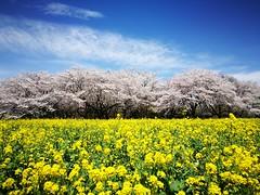 桜と菜の花 (* Yumi *) Tags: 桜 菜の花 昭和記念公園 landscape sakura