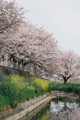 170410_029_5D3_5594 (oda.shinsuke) Tags: cherryblossom さくら 桜 flower vsco 見沼 river 菜の花