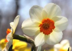 dreamy narcissus (LotusMoon Photography) Tags: daffodils flowers dreamy softfocus bright cheerful nature blooming blossom blooms spring seasons closeup macro cheery arboretum garden white annasheradon lotusmoonphotography