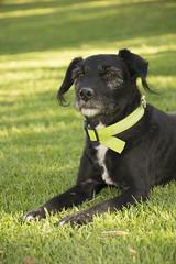 Chucho majestuoso #2 (palm z) Tags: alicante españa spain hierba yerba césped perro