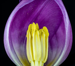 Inside a tulip (Danyel B. Photography) Tags: tulip tulpe stamp pistril stempel blüte blossom bloom stack stacking flower blume macro makro close nah