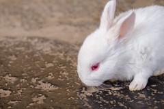 Happy Easter (inma F) Tags: easter rabbit white farm spring animal conejo pascua blanco primavera