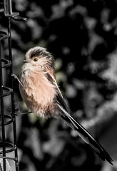 long tailed tit (1 of 1)