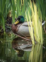 Duck (Wayne Cappleman (Haywain Photography)) Tags: wayne capppleman haywain photography king george v park farnborough hampshire