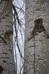 Tree (TheManWhoPlantedTrees) Tags: tmwpt poplar choupo populus tree árvore tronco texture trunk