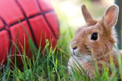 Conejo Basket (Casimemato) Tags: conejo rabit basket baloncesto 50mm canon animales animals cesped green ball balon