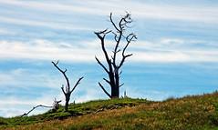 dead trees at Tauranga Bay 1b (Bilderschreiber) Tags: dead trees tree tauranga bay bucht west coast westcoast neuseeland newzealand southisland südinsel baum bäume tot holz wood silhouette