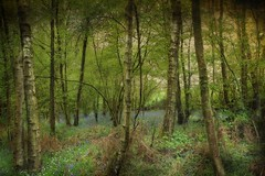 Bluebell Woods (saundersfay) Tags: bluebells wood