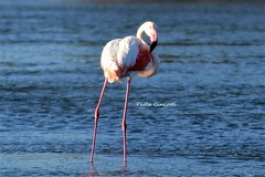DSC_6729 (paolacincotti) Tags: stagno allaperto uccelli bird birds oiseau oiseaux porto pino water trampoliere rosa sardegna
