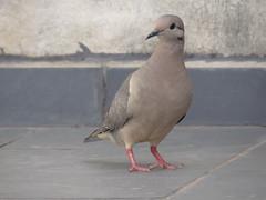 DSC00666 (familiapratta) Tags: sony dschx100v hx100v iso100 natureza pássaro pássaros aves nature bird birds novaodessa novaodessasp brasil