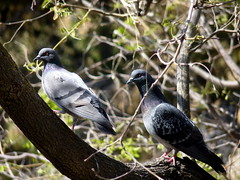 Under her watchful eye... (Mike Goldberg) Tags: birds pigeons doves jerusalem panasonicfz35 mikegoldberg