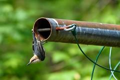 Backyard Acrobat (Maggggie) Tags: bird 365 clothesline pole nest hanging acrobat brownheadednuthatch soe odc edge