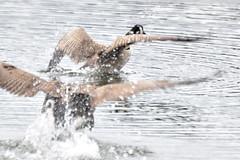 Geese fighting (Jan_ice) Tags: geese canadiangeese water fightinginwater splashing twogeese