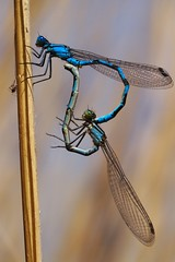 Love is in the air (Enallagma cyathigerum) (Ander Congil Ross) Tags: love spring damselfly libélula lagunas pitillas wildlife blue insect macro canon eos 7d tamron 90mm f28 patience paciencia insektuak urdina argazkilaritza photography two bi dragonflyburruntzia aire libre campo libertad free fotografía macrounlimited macrofotografía macrophotography primavera picoftheday wings spain