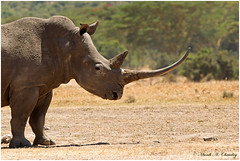 The Square-lipped Beast (MAC's Wild Pixels) Tags: thesquarelippedbeast rhino rhinoceros whiterhino ceratotheriumsimum endangered endangeredspecies worthmorealive outdoors africanwildlife wildafrica animal wildanimal outofafrica critical macswildpixels canoneos1dmkiv canonef300mmf28lisusm14xiii ngc coth5 npc