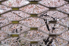 20170411-DS7_3642.jpg (d3_plus) Tags: 雨 bokeh rainy d700 屋外 nature rain 日常 walking kawasaki thesedays nikkor50mmf14 横浜 street 路上 ポタリング streetphoto 自然 自転車 景色 川崎 桜 nikonaiafnikkor50mmf14 神奈川県 sky spring plant 風景 afnikkor50mmf14 scenery ニコン aiafnikkor50mmf14 50mm dailyphoto nikon 50mmf14 ウォーキング kanagawapref flower daily pottering outdoor 路上写真 waterdrop 植物 散歩 サイクリング nikond700 花 yokohama 春 nikkor 水滴 ボケ 50mmf14d 空 日本 bloom ストリート cycling japan