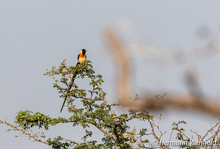 Long-tailed Paradise Whydah